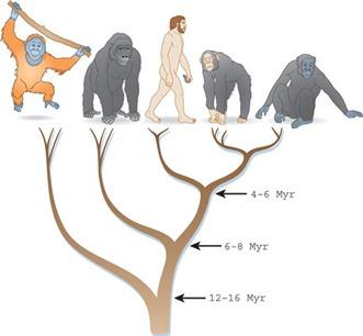 orangutan, gorilla, human, bonobo and chimpanzee