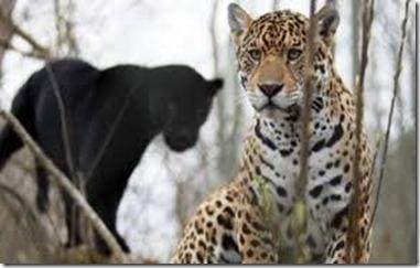 jaguarer1
