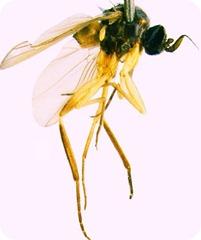 Alavesia fly-