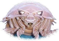 Giant Isopod ---