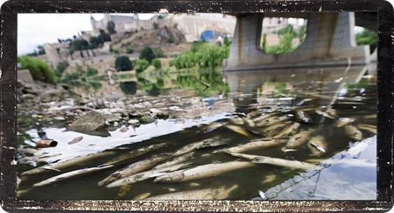 mortandad de peces en el Tajo en Toledo