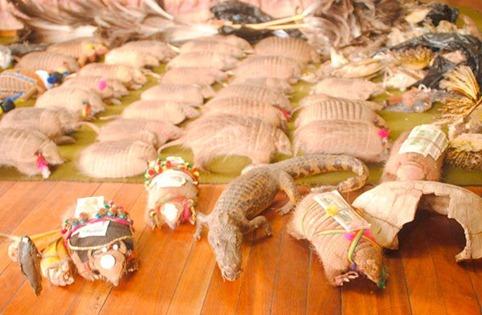 Policía incauta más de 103 animales silvestres sacrificados para el carnaval-