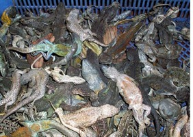 ANIMALES SILVESTRES MUERTOS, QUE ERAN EXPUESTOS EN EL ALTO.