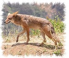coyote Canis_latrans