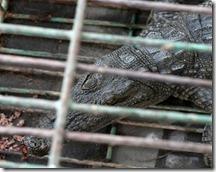 gaza-crocodile