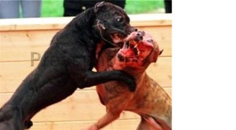 perros de pelea