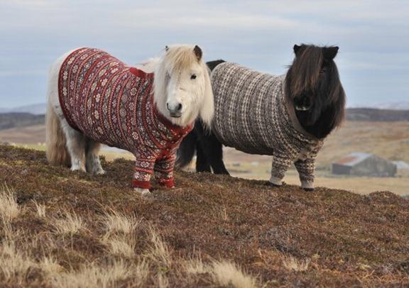 Shetland-Ponies-in-Cardigans-1