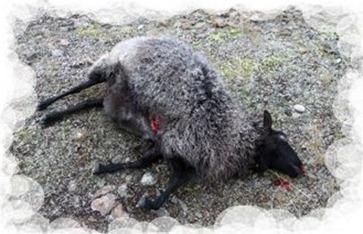 oveja atacada por lobo en skåne