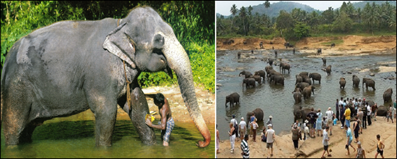 PINNAWALA_ELEPHANT_ORPHANAGE