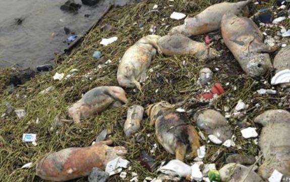 Shanghai_dead_pigs