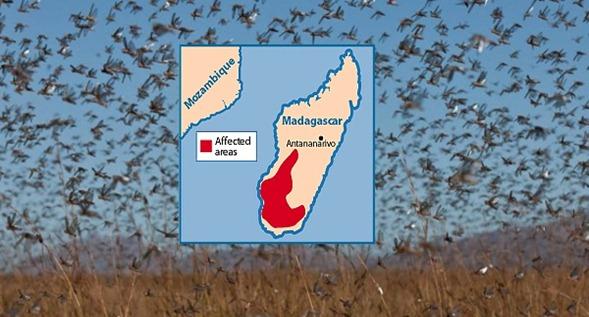 invasión de saltamontes madagascar