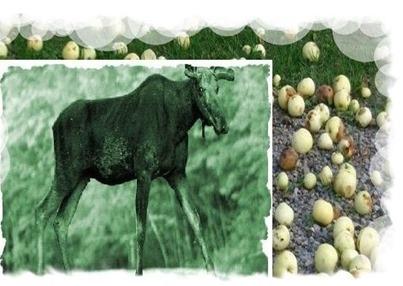fruta   alce