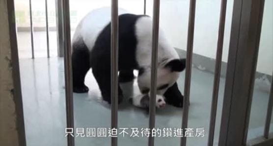 Baby Panda Meets Her Mother