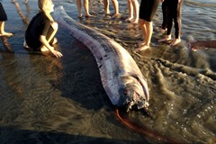 oarfish oceanside