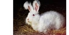 conejo -angora