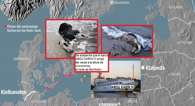 Kossor i Östersjön