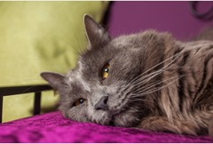 Louis the cat rests on a bed at the Meadow Cat Hotel in St Erme. Ref:TRJJ20140407A-015_C