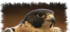 Falcón peregrino