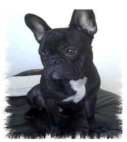 bulldog_francés_Charlie