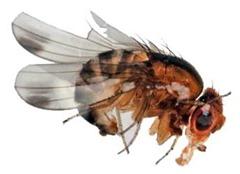 Fruit_Fly_Drosophila