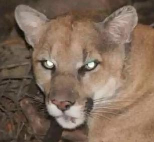 Puma_escondido_en_LA-