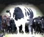 'Knickers', la gigantesca vaca australiana