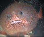 El «pez ataúd» puede contener la respiración 4 minutos